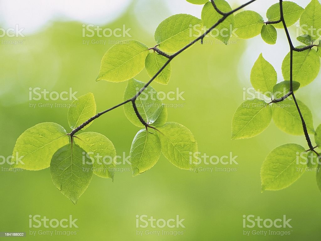 green leaves on background royalty-free stock photo