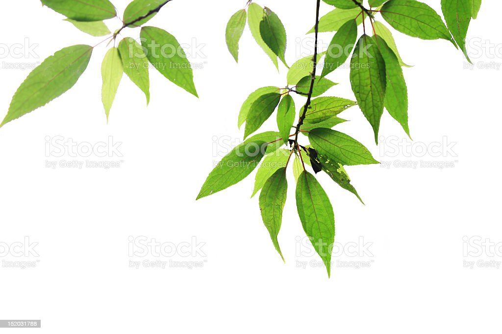 Green leaves on branches on a white background royalty-free stock photo
