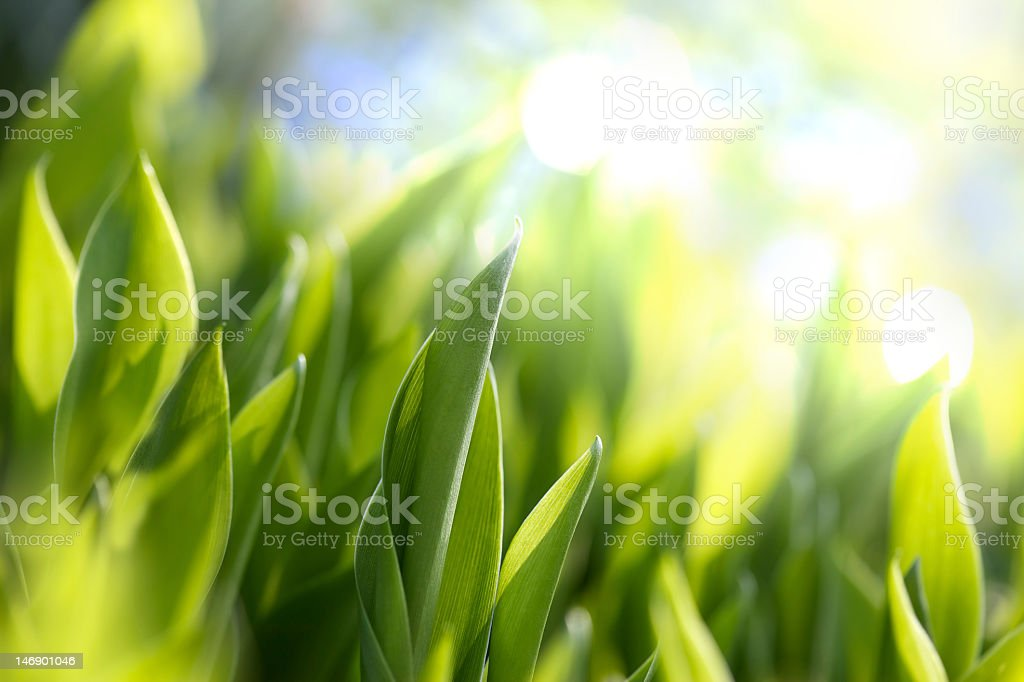 Green leaves on bright background royalty-free stock photo