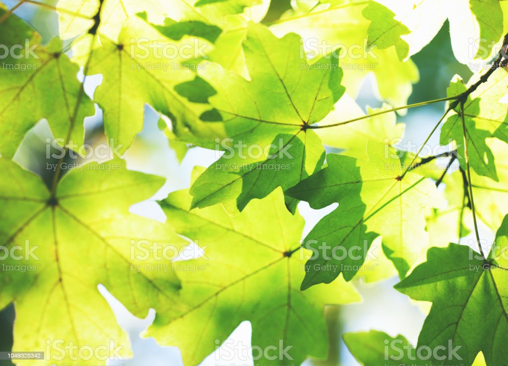 Green leaves on the sun stock photo