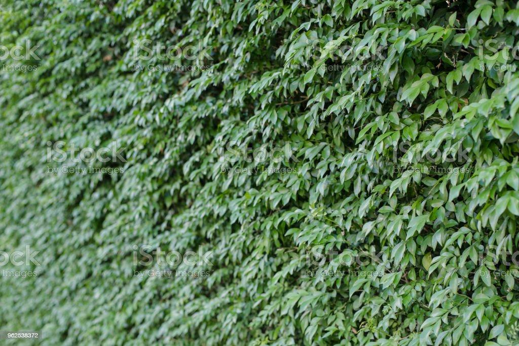 Folhas verdes em fundo de parede. - Foto de stock de Abstrato royalty-free