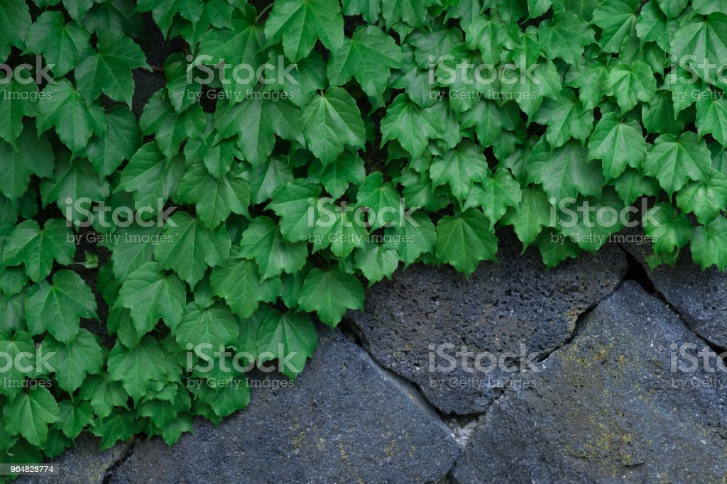 Green leaves pattern royalty-free stock photo