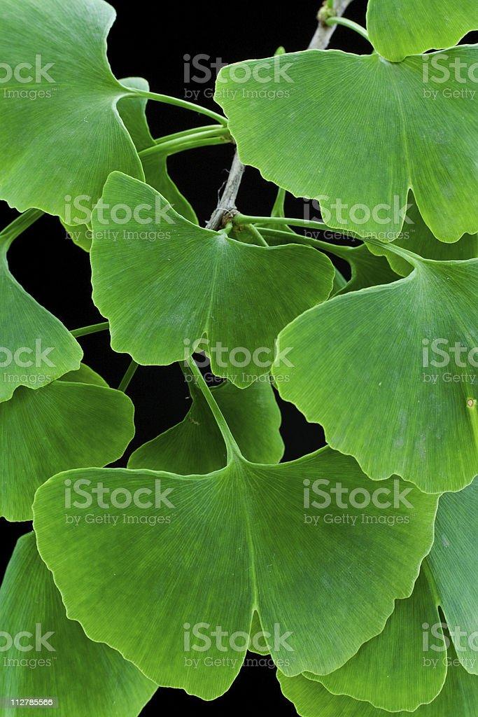 Green leaves (Ginkgo biloba) royalty-free stock photo