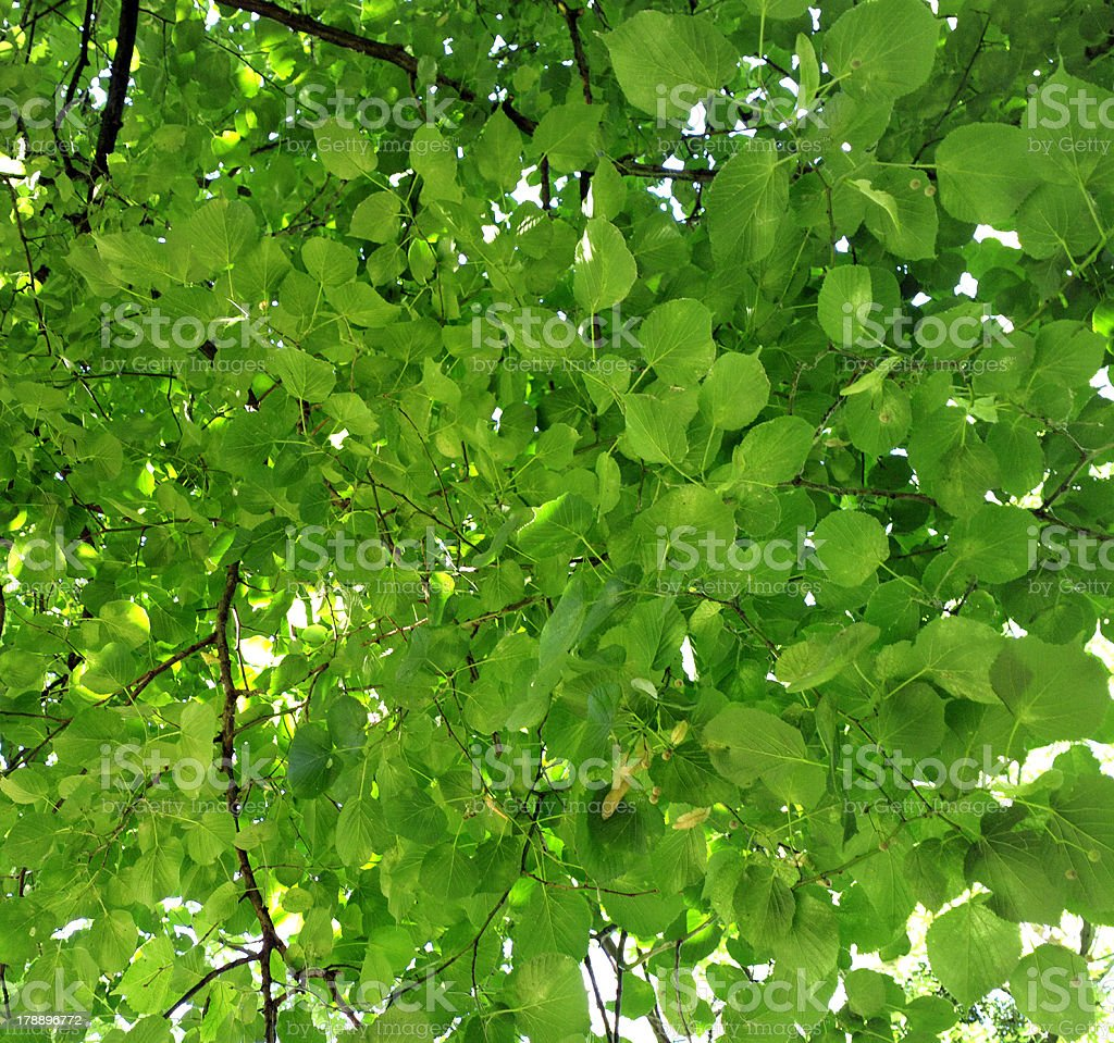 Green leaves. royalty-free stock photo