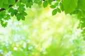 Fresh green spring leaves.