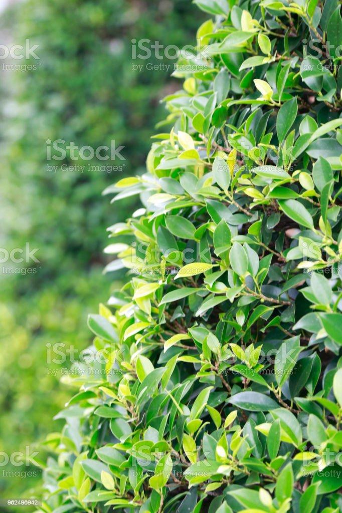 Folhas verdes  - Foto de stock de Crescimento royalty-free
