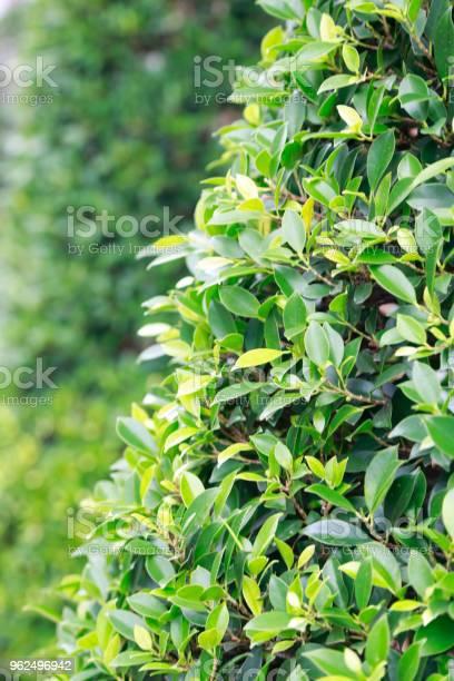Foto de Folhas Verdes e mais fotos de stock de Crescimento
