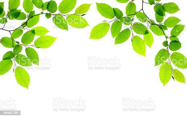 Photo of Green leaves providing a border on a white background