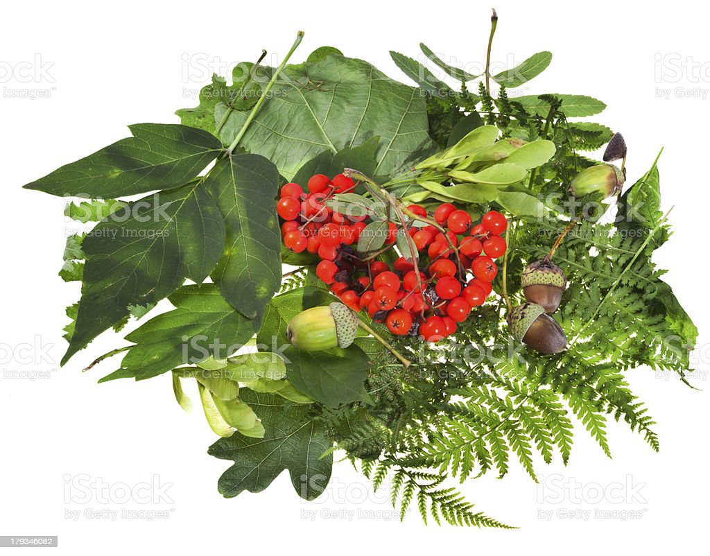 green leaves, red seeds and acorns royalty-free stock photo
