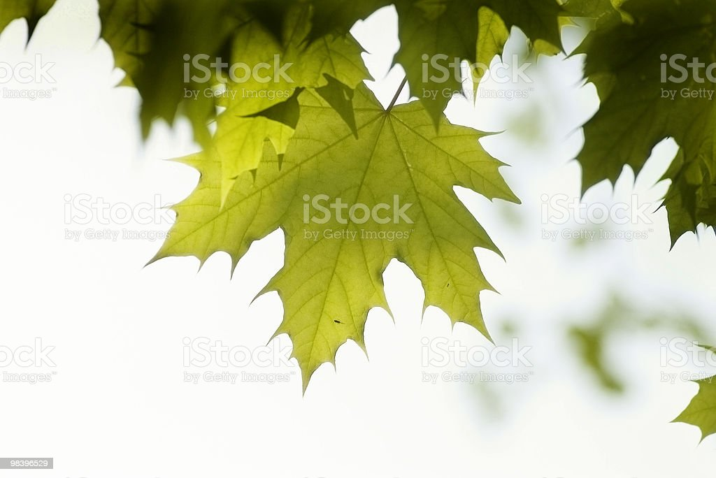 green leaves, shallow focus royalty-free stock photo