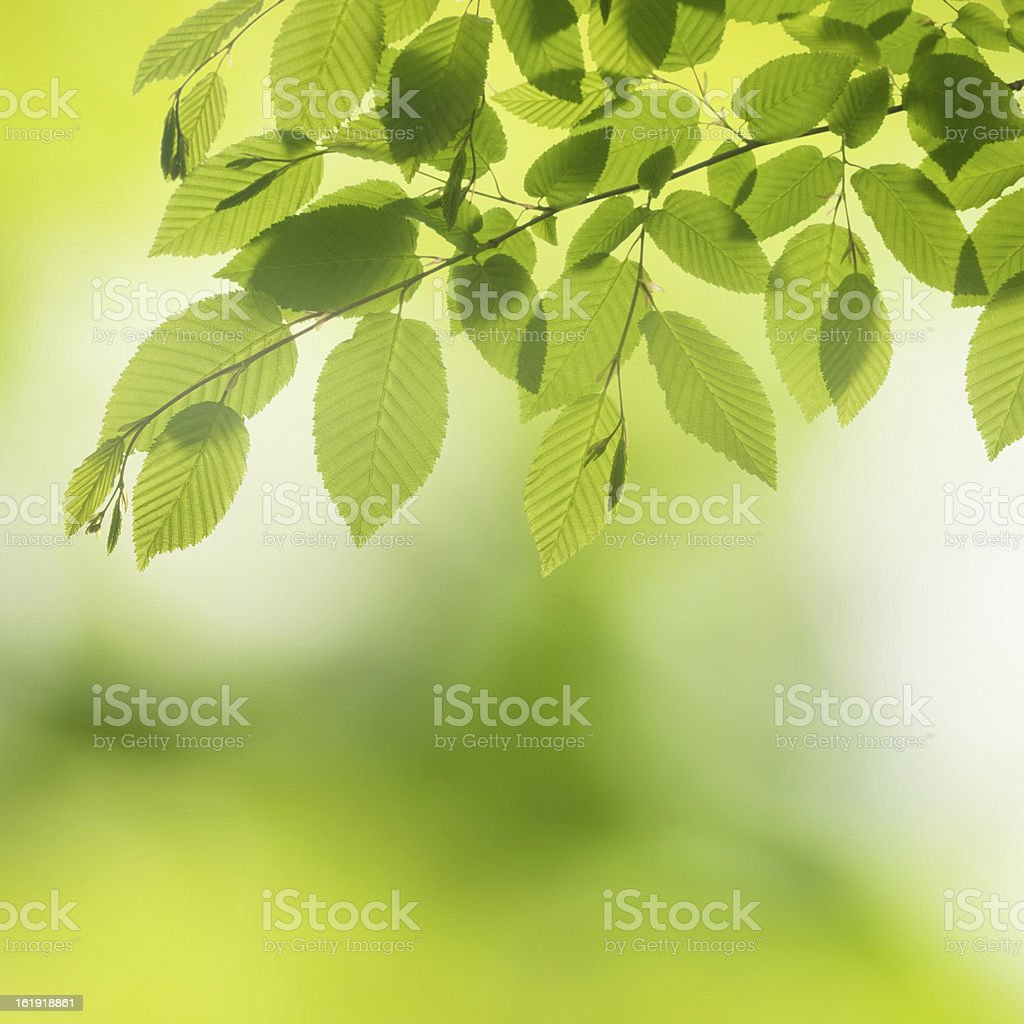 Green Leaves - Spring Backgound royalty-free stock photo