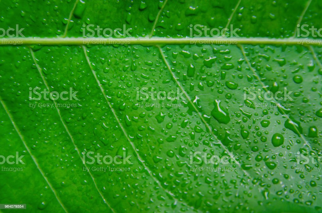 Green leaves texture and drop of water, Wallpaper by detail of green leaf. - Royalty-free Abstract Stock Photo