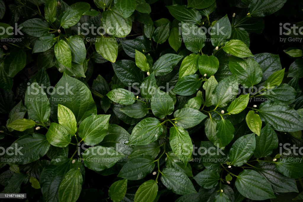 Green Leaves Texture Top View Background Full Frame Of Tropical Dark Green Leaf Tone Stock Photo Download Image Now Istock Tropical dark green palm leaves on four sides. https www istockphoto com photo green leaves texture top view background full frame of tropical dark green leaf tone gm1216715925 354891356