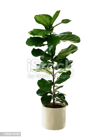 istock Green leaves tropical houseplant fiddle-leaf fig tree (Ficus lyrata) in small ceramic pot, ornamental tree isolated on white background, clipping path included. 1295815492