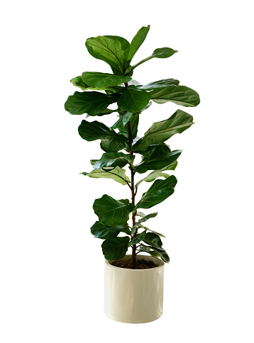 Green leaves tropical houseplant fiddle-leaf fig tree (Ficus lyrata) in small ceramic pot, ornamental tree isolated on white background, clipping path included.