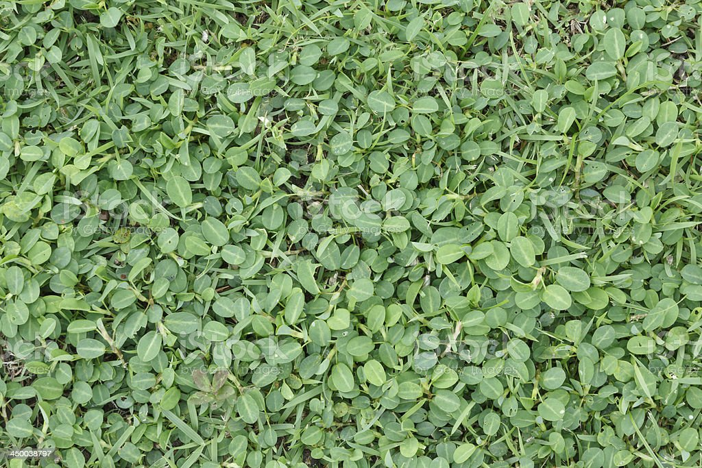 Green leaves wall background and texture royalty-free stock photo