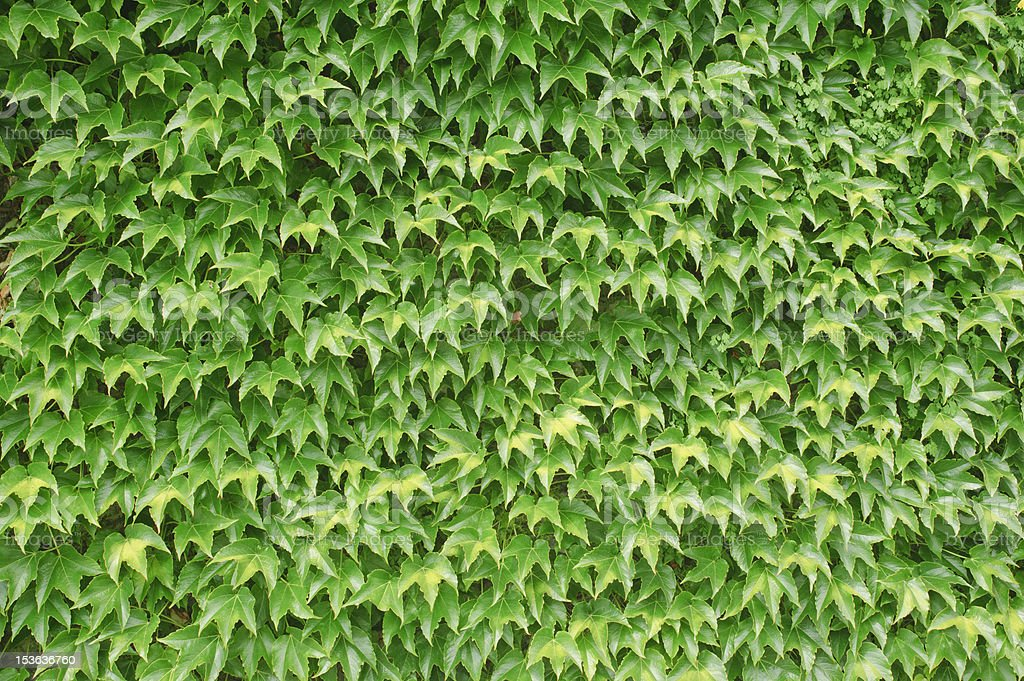 green leaves wall background. royalty-free stock photo