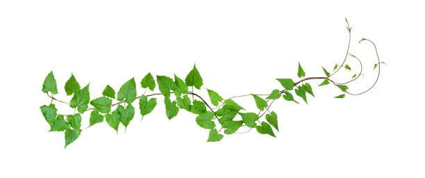 gröna blad vild klättring vinrankor, isolerad på vit bakgrund, urklippsbana ingår - murgröna bildbanksfoton och bilder
