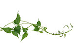 Green leaves wild climbing vine liana plant isolated on white background, clipping path included.