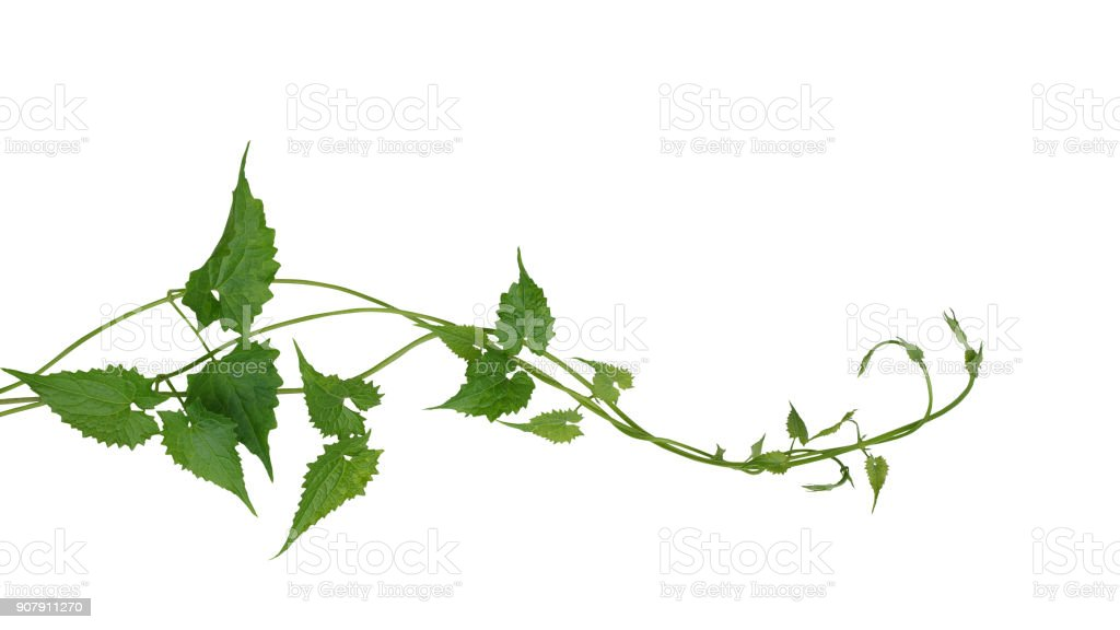Green leaves wild climbing vine liana plant isolated on white background, clipping path included. stock photo
