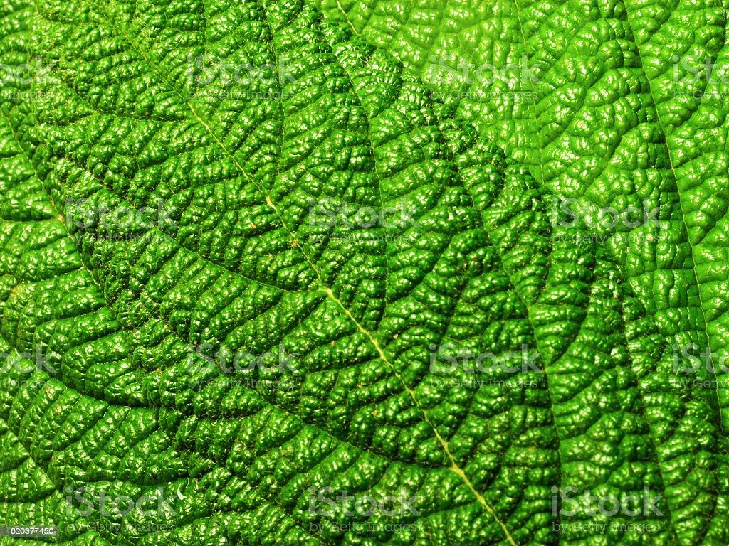 Green leaves with a rough surface zbiór zdjęć royalty-free