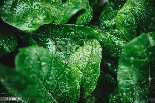 istock Green leaves with dew drops 1251268250