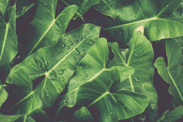 Green leaves with dews under sunlight. stock photo