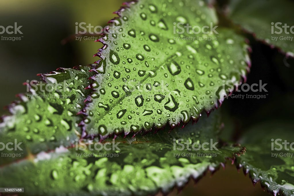 green leaves with drops royalty-free stock photo