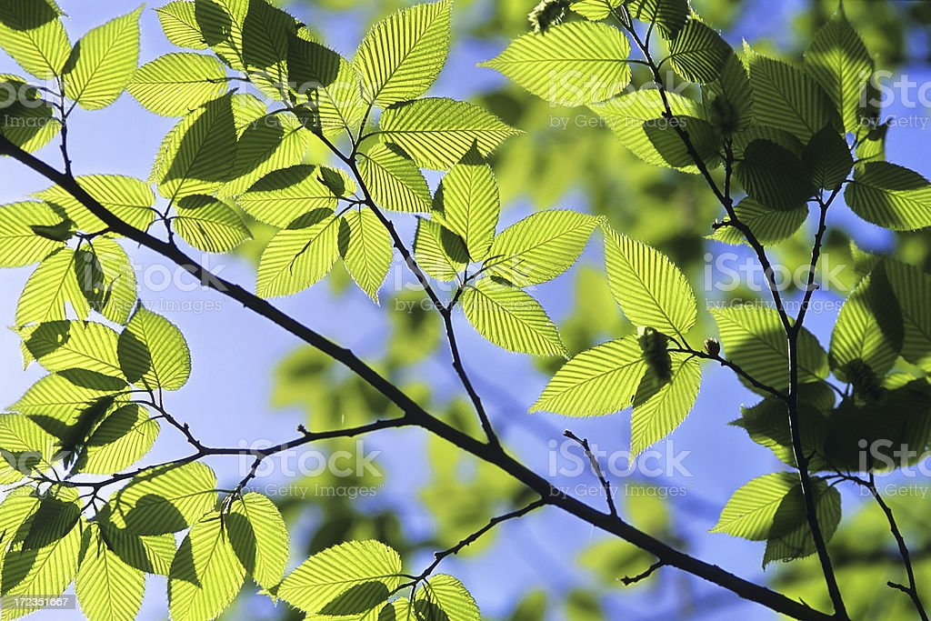 green leaves with sun royalty-free stock photo