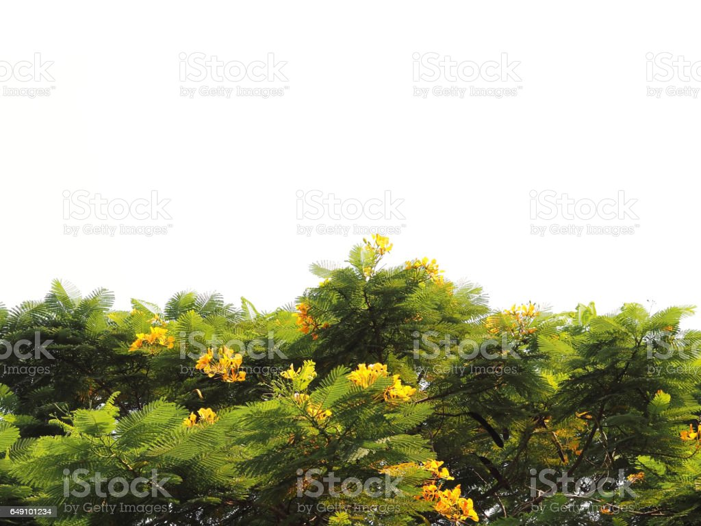 Green leaves with yellow flowers isolated on white background stock photo
