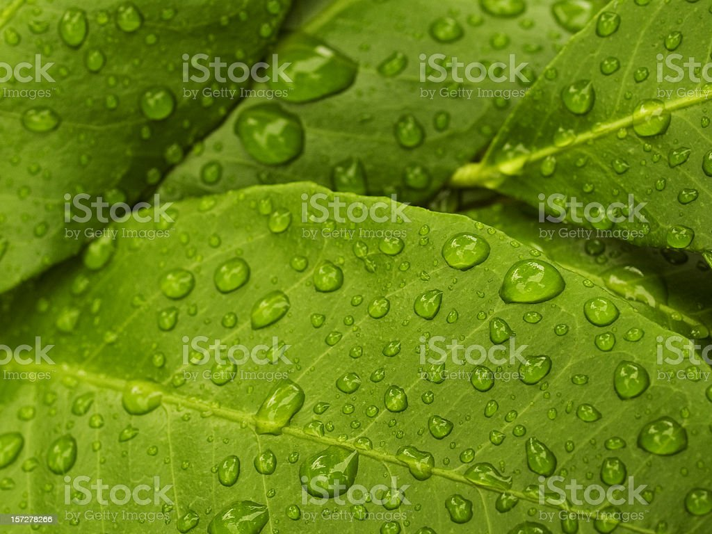 green lemon leaves royalty-free stock photo