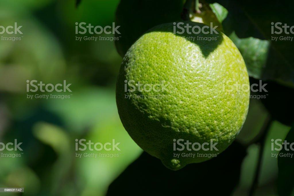 Sur l'arbre vert citron photo libre de droits
