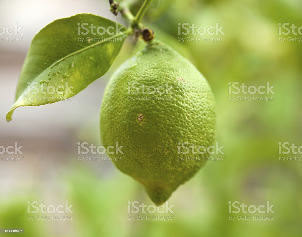 green lemon royalty-free stock photo