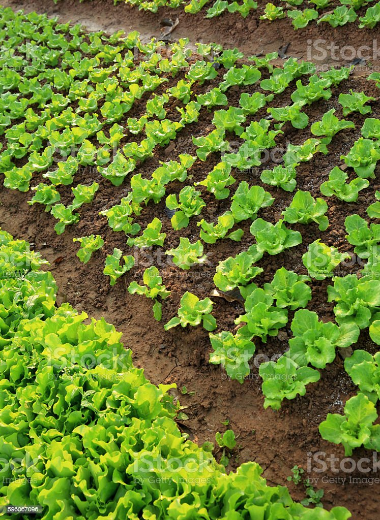 green lettuce crops in growth at vegetable garden royalty-free stock photo