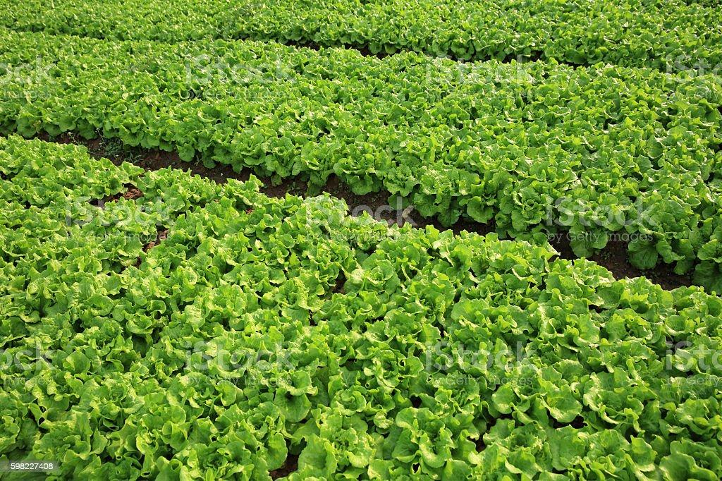 Verde alface culturas em crescimento na horta  foto royalty-free