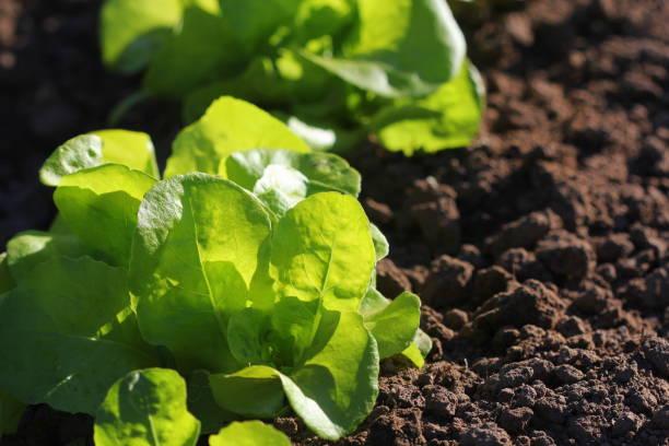 Green lettuce growing in the garden, growing. Healthy vegetarian food stock photo