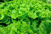 Green Lettuce in growth at vegetable garden