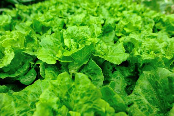 Kopfsalat in Wachstum im Gemüsegarten – Foto