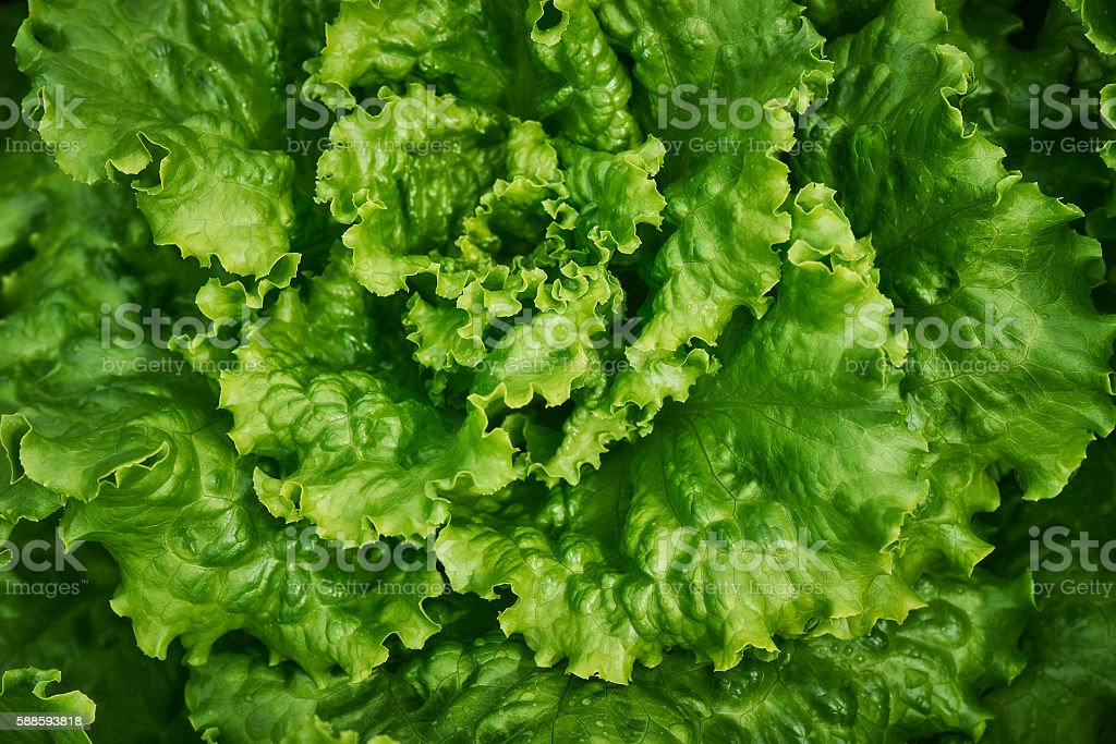 Green Lettuce Leaves stock photo