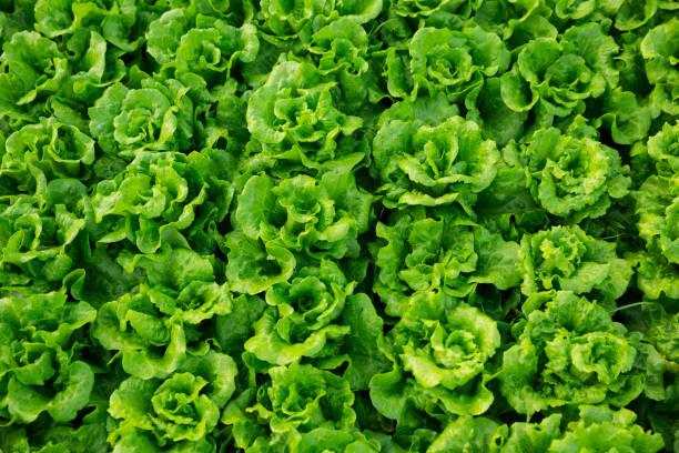 green lettuce plant in field stock photo