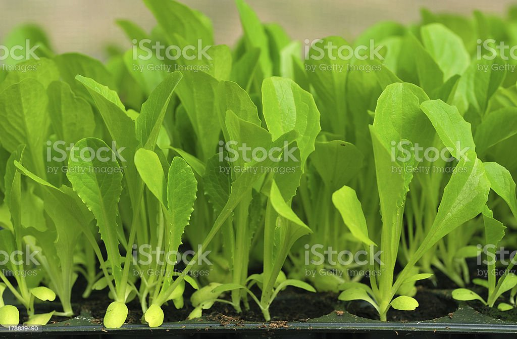 Green lettuce seedling. food and vegetable background. royalty-free stock photo