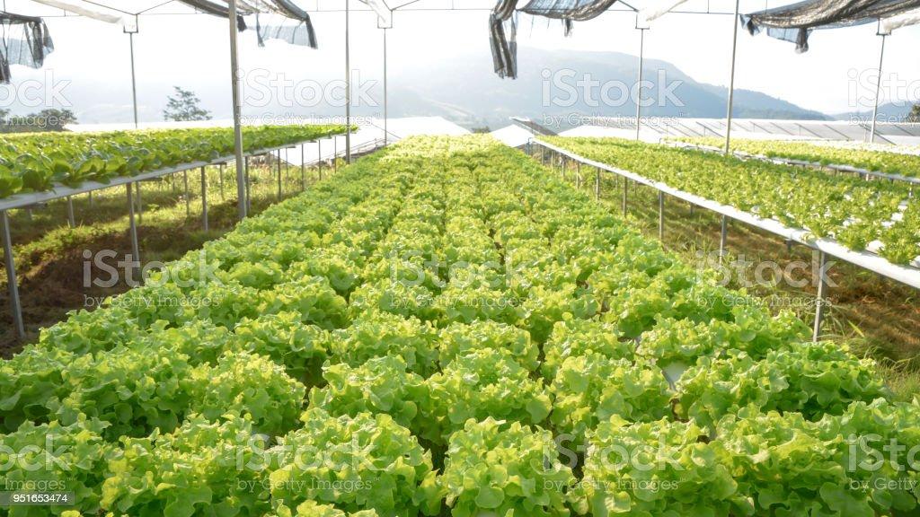 Green lettuce vegetables hydroponic plantation at farm stock photo