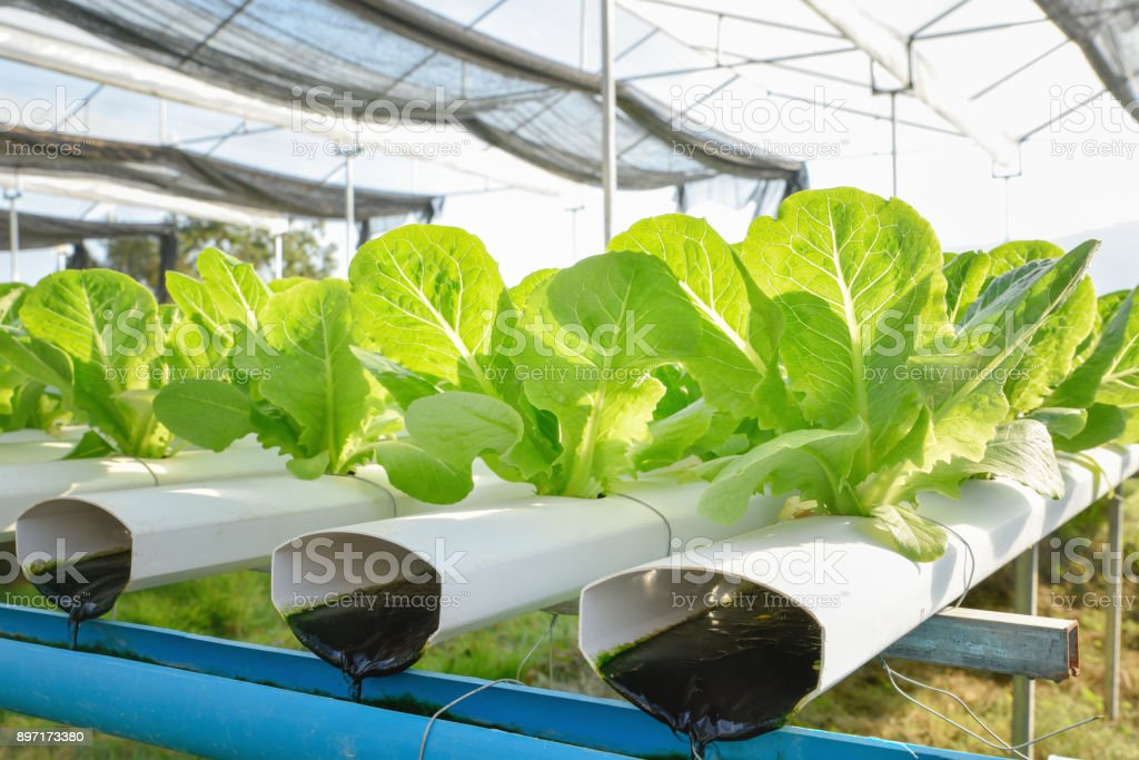 Green lettuce vegetables in hydroponic farm stock photo