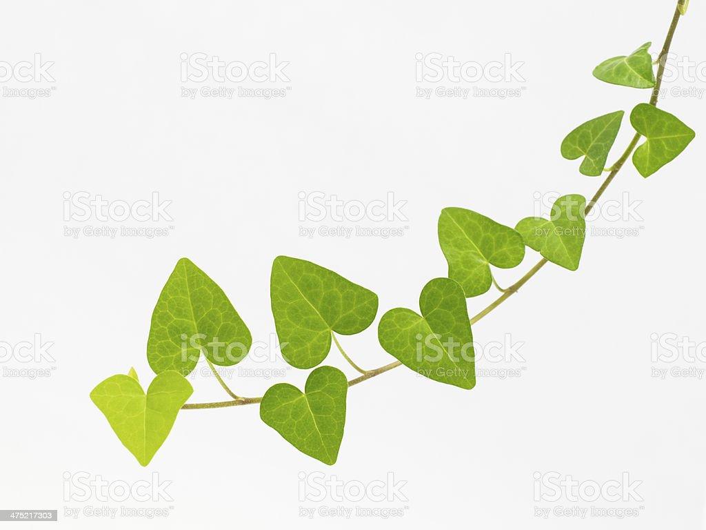 Green Liane – Foto