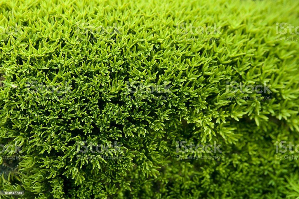 Green lichen royalty-free stock photo