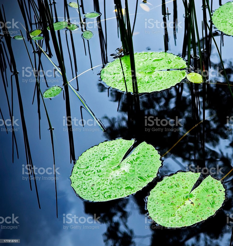 Green Lilly pads on a pond with rain drops on them stock photo