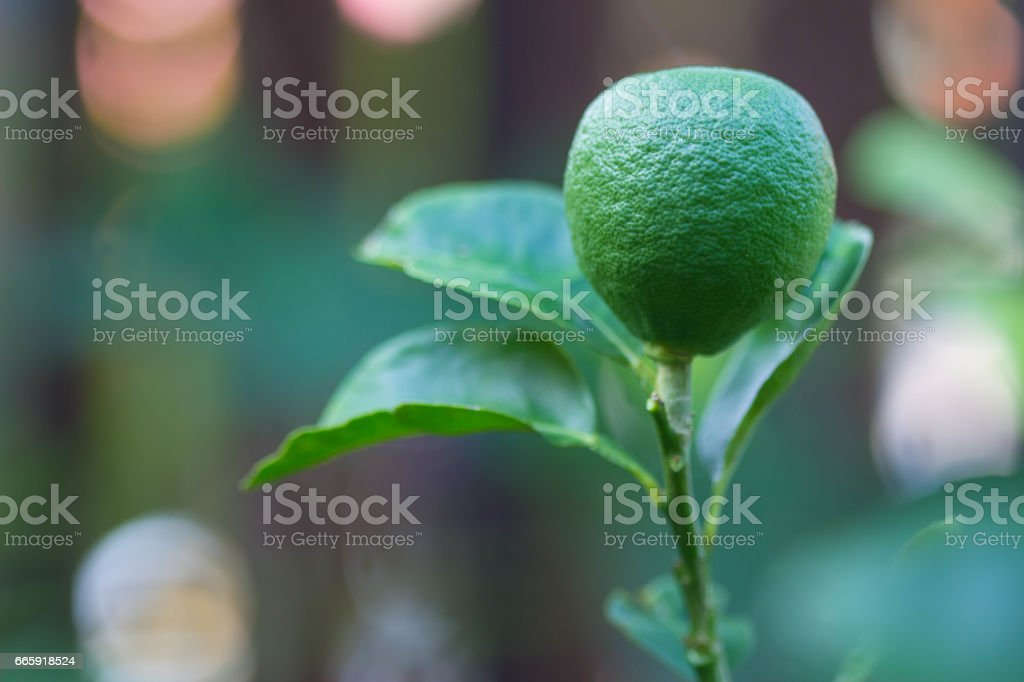 Green lime stand erect from tree foto stock royalty-free