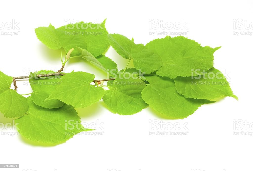 Green lime tree leaves royalty-free stock photo