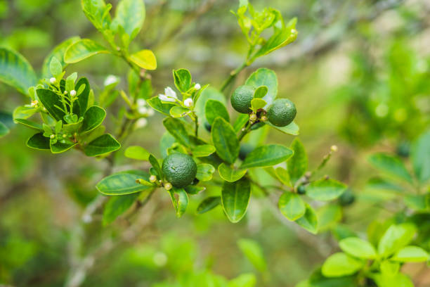 green limes on a tree. lime is a hybrid citrus fruit, which is typically round, about 3-6 centimeters in diameter and containing acidic juice vesicles. limes are excellent source of vitamin c - diameter stock pictures, royalty-free photos & images