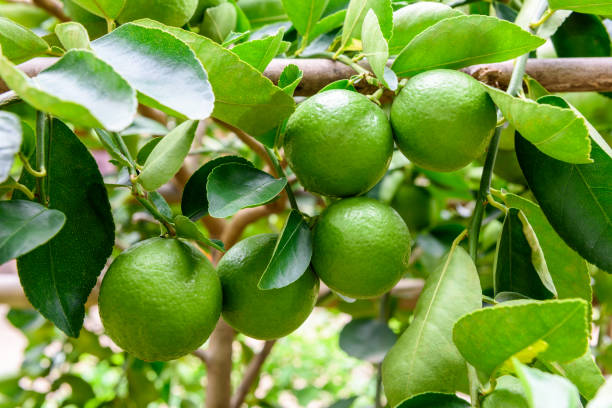 green limes on a tree. lime is a hybrid citrus fruit, which is typically round, about 3-6 centimeters in diameter and containing acidic juice vesicles. limes are excellent source of vitamin c. - diameter stock pictures, royalty-free photos & images